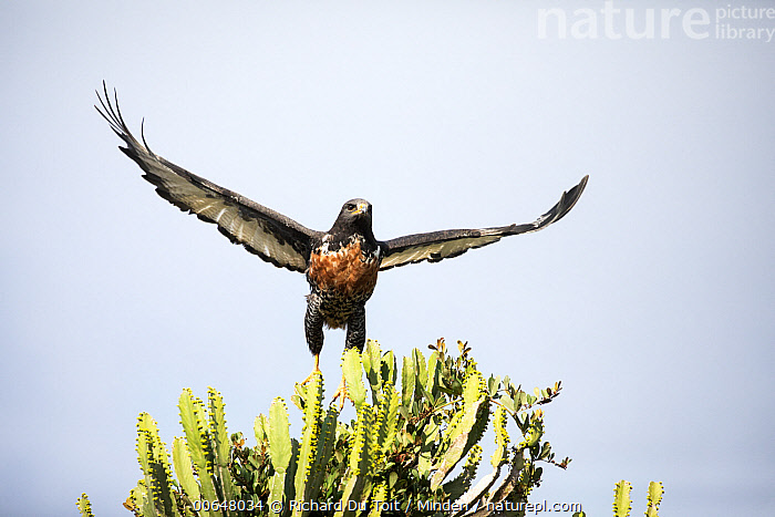 Augur Buzzard (Buteo rufofuscus) flying, Addo National Park, South Africa  ,  Addo National Park,Adult,Augur Buzzard,Buteo rufofuscus,Color Image,Day,Flying,Front View,Full Length,Horizontal,Low Angle View,Nobody,One Animal,Outdoors,Photography,Raptor,South Africa,Taking Flight,Wildlife  ,  Richard Du Toit