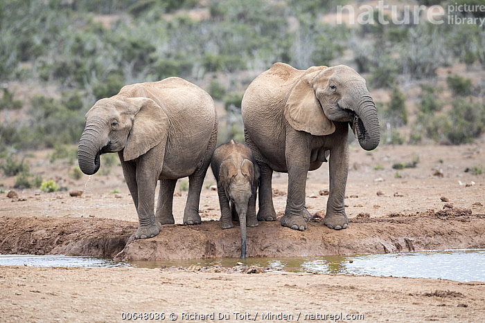 African Elephant (Loxodonta africana) females and calf drinking at waterhole, Addo National Park, South Africa  ,  Addo National Park,Adult,African Elephant,Baby,Calf,Color Image,Day,Drinking,Female,Front View,Full Length,Horizontal,Loxodonta africana,Mother,Nobody,Outdoors,Parent,Photography,Side View,South Africa,Threatened Species,Three Animals,Vulnerable Species,Waterhole,Wildlife  ,  Richard Du Toit