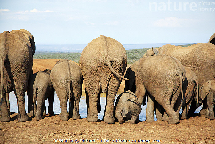 African Elephant (Loxodonta africana) herd with calves drinking at waterhole, Addo National Park, South Africa  ,  Addo National Park,Adult,African Elephant,Baby,Calf,Color Image,Day,Drinking,Female,Full Length,Herd,Horizontal,Humor,Loxodonta africana,Medium Group of Animals,Mother,Nobody,Outdoors,Parent,Photography,Rear View,South Africa,Threatened Species,Vulnerable Species,Wildlife  ,  Richard Du Toit