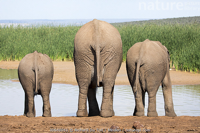 African Elephant (Loxodonta africana) mother and calves drinking at waterhole, Addo National Park, South Africa  ,  Addo National Park,Adult,African Elephant,Baby,Calf,Color Image,Day,Drinking,Female,Full Length,Horizontal,Humor,Line,Loxodonta africana,Mother,Nobody,Outdoors,Parent,Photography,Rear View,South Africa,Threatened Species,Three Animals,Vulnerable Species,Waterhole,Wildlife  ,  Richard Du Toit