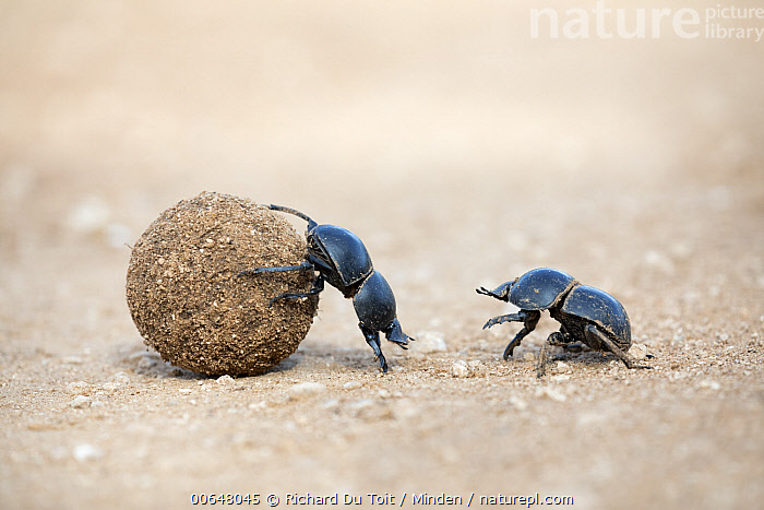 African Scarab Beetle (Circellium bacchus) pair rolling dung, Addo National Park, South Africa  ,  Addo National Park,Adult,African Scarab Beetle,Circellium bacchus,Color Image,Day,Dung,Full Length,Horizontal,Nobody,Outdoors,Photography,Pushing,Rolling,Side View,South Africa,Two Animals,Wildlife  ,  Richard Du Toit