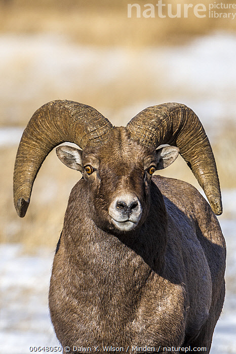 Bighorn Sheep (Ovis canadensis) ram in winter, Shoshone Canyon, Wyoming  ,  Adult,Bighorn Sheep,Color Image,Day,Front View,Looking at Camera,Male,Nobody,One Animal,Outdoors,Ovis canadensis,Photography,Ram,Shoshone Canyon,Three Quarter Length,Vertical,Wildlife,Winter,Wyoming  ,  Dawn Y. Wilson