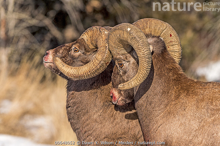 Bighorn Sheep (Ovis canadensis) ram displaying dominance, Shoshone Canyon, Wyoming  ,  Adult,Bighorn Sheep,Blood,Color Image,Day,Displaying,Dominance,Head and Shoulders,Horizontal,Male,Nobody,Outdoors,Ovis canadensis,Photography,Ram,Shoshone Canyon,Side View,Two Animals,Wildlife,Wyoming  ,  Dawn Y. Wilson