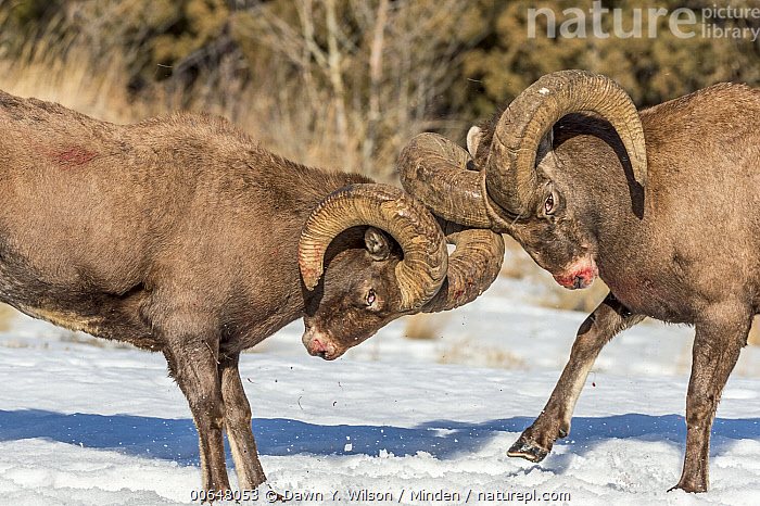 Bighorn Sheep (Ovis canadensis) rams fighting during rut, Shoshone Canyon, Wyoming  ,  Adult,Bighorn Sheep,Blood,Color Image,Competition,Day,Fighting,Horizontal,Male,Nobody,Outdoors,Ovis canadensis,Photography,Ram,Rut,Shoshone Canyon,Side View,Snow,Two Animals,Waist Up,Wildlife,Wyoming  ,  Dawn Y. Wilson