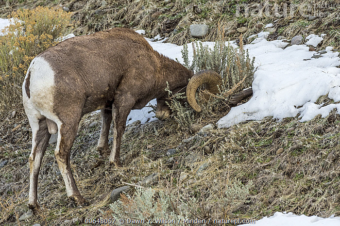 Bighorn Sheep (Ovis canadensis) ram scent-marking, Shoshone Canyon, Wyoming  ,  Adult,Bighorn Sheep,Color Image,Day,Full Length,Horizontal,Male,Nobody,One Animal,Outdoors,Ovis canadensis,Photography,Ram,Rubbing,Scent-Marking,Shoshone Canyon,Side View,Territorial,Wildlife,Wyoming  ,  Dawn Y. Wilson