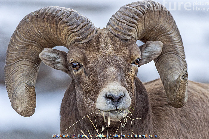 Bighorn Sheep (Ovis canadensis) ram feeding on grass, Shoshone Canyon, Wyoming  ,  Adult,Bighorn Sheep,Color Image,Day,Feeding,Front View,Head and Shoulders,Horizontal,Looking at Camera,Male,Nobody,One Animal,Outdoors,Ovis canadensis,Photography,Portrait,Ram,Shoshone Canyon,Wildlife,Wyoming  ,  Dawn Y. Wilson