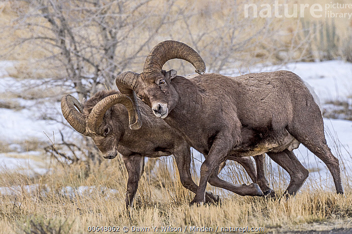 Bighorn Sheep (Ovis canadensis) rams chasing each other during fall rut, Shoshone Canyon, Wyoming  ,  Adult,Bighorn Sheep,Chasing,Color Image,Competition,Day,Fighting,Full Length,Horizontal,Male,Nobody,Outdoors,Ovis canadensis,Photography,Ram,Rut,Shoshone Canyon,Side View,Snow,Two Animals,Wildlife,Wyoming  ,  Dawn Y. Wilson