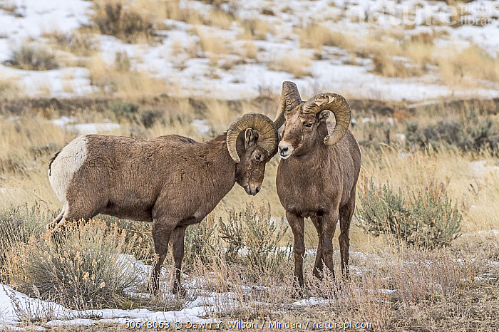 Bighorn Sheep (Ovis canadensis) ram displaying dominance, Shoshone Canyon, Wyoming  ,  Adult,Bighorn Sheep,Color Image,Competition,Day,Displaying,Dominance,Front View,Full Length,Horizontal,Male,Nobody,Outdoors,Ovis canadensis,Photography,Ram,Shoshone Canyon,Side View,Two Animals,Wildlife,Wyoming  ,  Dawn Y. Wilson