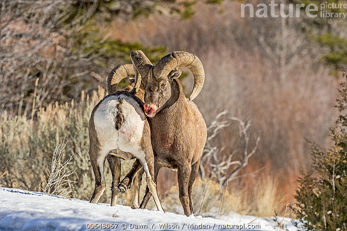 Bighorn Sheep (Ovis canadensis) rams fighting, Shoshone Canyon, Wyoming  ,  Adult,Bighorn Sheep,Blood,Color Image,Competition,Day,Fighting,Front View,Full Length,Horizontal,Male,Nobody,Outdoors,Ovis canadensis,Photography,Ram,Rear View,Shoshone Canyon,Two Animals,Wildlife,Wyoming  ,  Dawn Y. Wilson