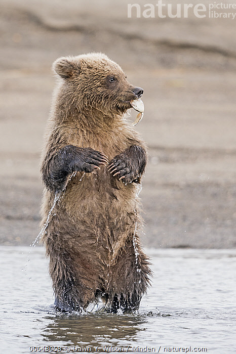 Grizzly Bear (Ursus arctos horribilis) cub playing with shell, Lake Clark National Park and Preserve, Alaska  ,  Alaska,Baby,Carrying,Color Image,Cub,Cute,Day,Full Length,Grizzly Bear,Lake Clark National Park and Preserve,Nobody,One Animal,Outdoors,Photography,Playing,Shell,Side View,Standing,Upright,Ursus arctos horribilis,Vertical,Wildlife  ,  Dawn Y. Wilson