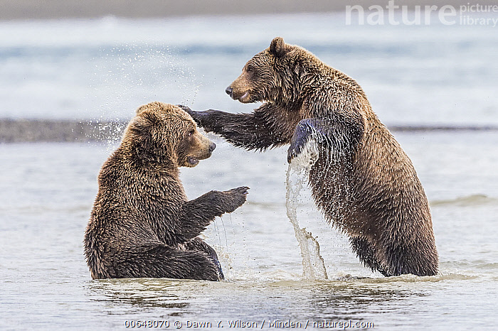 Grizzly Bear (Ursus arctos horribilis) pair play-fighting, Lake Clark National Park and Preserve, Alaska  ,  Adult,Alaska,Color Image,Day,Full Length,Grizzly Bear,Horizontal,Humor,Lake Clark National Park and Preserve,Nobody,Outdoors,Photography,Play-fighting,Playing,Side View,Splashing,Two Animals,Ursus arctos horribilis,Wildlife  ,  Dawn Y. Wilson