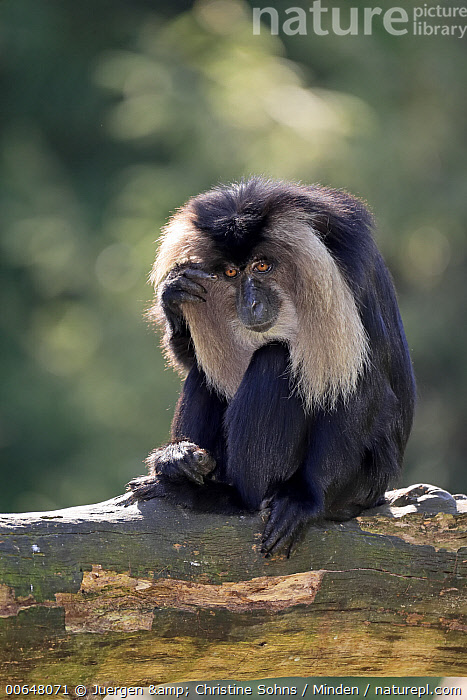Lion-tailed Macaque (Macaca silenus), native to Asia  ,  Adult,Arboreal,Captive,Color Image,Day,Endangered Species,Full Length,Lion-tailed Macaque,Macaca silenus,Nobody,One Animal,Outdoors,Photography,Side View,Vertical,Wildlife  ,  Juergen & Christine Sohns