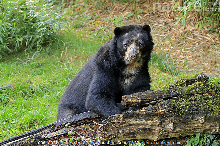 Spectacled Bear (Tremarctos ornatus), native to South America  ,  Adult,Captive,Color Image,Day,Full Length,Horizontal,Looking at Camera,Nobody,One Animal,Outdoors,Photography,Side View,Spectacled Bear,Threatened Species,Tremarctos ornatus,Vulnerable Species,Wildlife  ,  Juergen & Christine Sohns