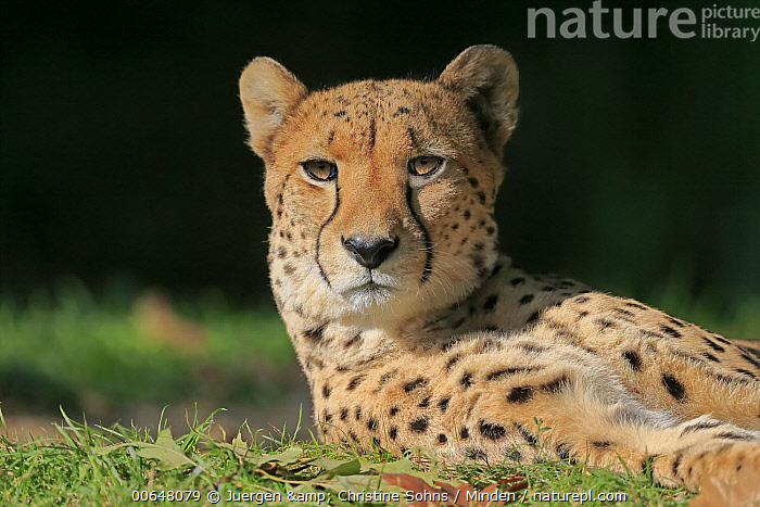 Cheetah (Acinonyx jubatus), native to Africa and Asia  ,  Acinonyx jubatus,Adult,Captive,Cheetah,Color Image,Day,Head and Shoulders,Horizontal,Looking at Camera,Nobody,One Animal,Outdoors,Photography,Portrait,Side View,Threatened Species,Vulnerable Species,Wildlife  ,  Juergen & Christine Sohns