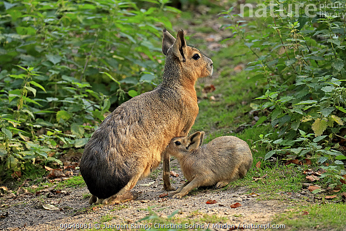 Patagonian Mara (Dolichotis patagonum) mother nursing young, Patagonia, Argentina  ,  Adult,Argentina,Baby,Color Image,Day,Dolichotis patagonum,Feeding,Female,Full Length,Horizontal,Mother,Nobody,Nursing,Outdoors,Patagonian Mara,Parent,Patagonia,Parenting,Photography,Side View,Two Animals,Wildlife,Young  ,  Juergen & Christine Sohns