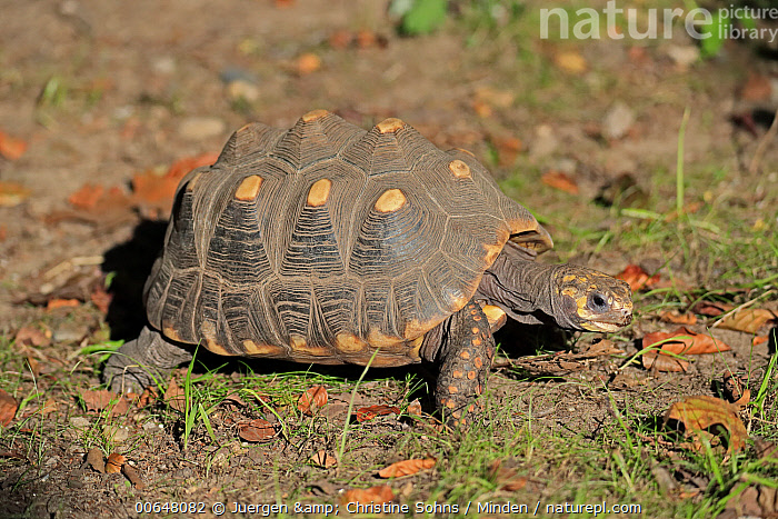 Red-footed Tortoise (Geochelone carbonaria), native to South America  ,  Adult,Captive,Color Image,Day,Full Length,Geochelone carbonaria,Horizontal,Nobody,One Animal,Outdoors,Photography,Red-footed Tortoise,Side View,Wildlife  ,  Juergen & Christine Sohns