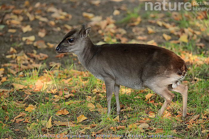 Blue Duiker (Philantomba monticola), native to Africa  ,  Adult,Blue Duiker,Captive,Color Image,Day,Full Length,Horizontal,Nobody,One Animal,Outdoors,Philantomba monticola,Photography,Side View,Wildlife  ,  Juergen & Christine Sohns