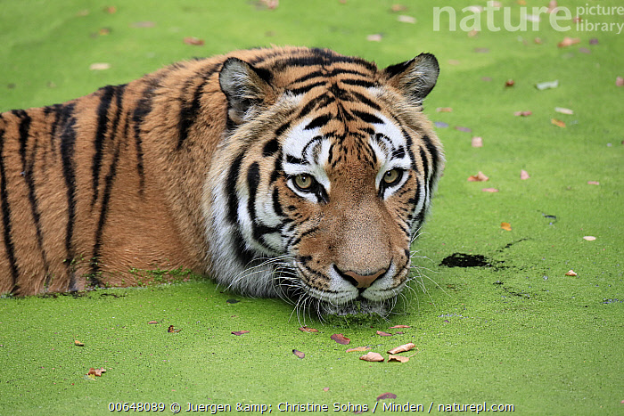 Siberian Tiger (Panthera tigris altaica) in water, native to Asia  ,  Adult,Captive,Color Image,Critically Endangered Species,Day,Endangered Species,Head and Shoulders,High Angle View,Horizontal,Nobody,One Animal,Outdoors,Panthera tigris altaica,Photography,Portrait,Siberian Tiger,Side View,Water,Wildlife  ,  Juergen & Christine Sohns
