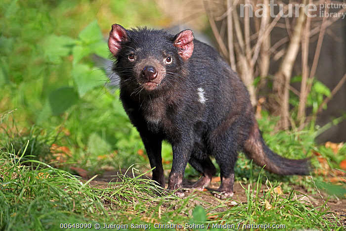 Tasmanian Devil (Sarcophilus harrisii), native to Australia  ,  Adult,Captive,Color Image,Day,Endangered Species,Full Length,Horizontal,Looking at Camera,Marsupial,Nobody,One Animal,Outdoors,Photography,Sarcophilus harrisii,Side View,Tasmanian Devil,Wildlife  ,  Juergen & Christine Sohns