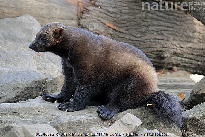 Wolverine (Gulo gulo), native to northern hemisphere  ,  Adult,Captive,Color Image,Day,Full Length,Gulo gulo,Horizontal,Nobody,One Animal,Outdoors,Photography,Side View,Wildlife,Wolverine  ,  Juergen & Christine Sohns