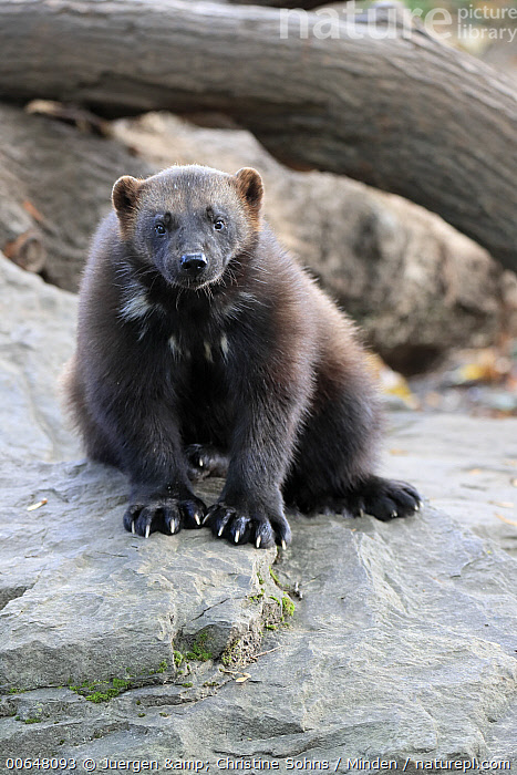 Wolverine (Gulo gulo), native to northern hemisphere  ,  Adult,Captive,Color Image,Day,Front View,Full Length,Gulo gulo,Looking at Camera,Nobody,One Animal,Outdoors,Photography,Vertical,Wildlife,Wolverine  ,  Juergen & Christine Sohns