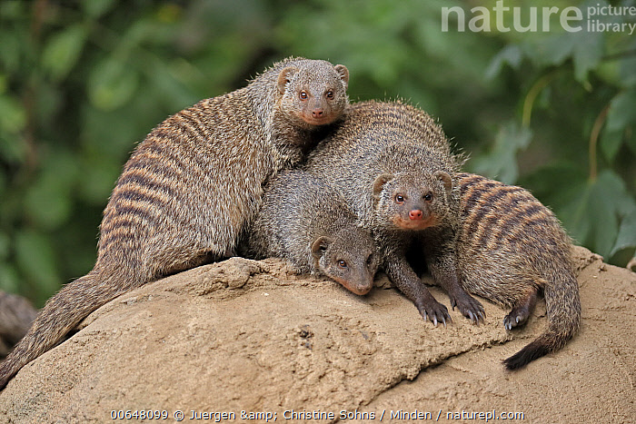 Dwarf Mongoose (Helogale parvula) group huddling, native to Africa  ,  Adult,Captive,Color Image,Day,Dwarf Mongoose,Helogale parvula,Horizontal,Huddling,Looking at Camera,Nobody,Outdoors,Photography,Side View,Three Animals,Three Quarter Length,Wildlife  ,  Juergen & Christine Sohns