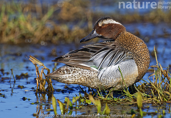 Garganey (Anas querquedula), Duemmer Lake, Germany  ,  Adult,Anas querquedula,Color Image,Day,Duemmer Lake,Full Length,Garganey,Germany,Horizontal,Nobody,One Animal,Outdoors,Photography,Side View,Waterfowl,Wildlife  ,  Winfried Wisniewski