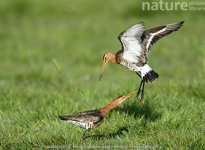 Black-tailed Godwit (Limosa limosa) pair fighting, Duemmer Lake, Germany  ,  Adult,Black-tailed Godwit,Color Image,Competition,Day,Duemmer Lake,Fighting,Flying,Full Length,Germany,Horizontal,Limosa limosa,Nobody,Outdoors,Photography,Shorebird,Side View,Two Animals,Wildlife  ,  Winfried Wisniewski
