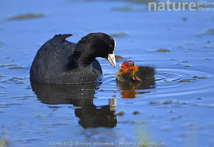 Coot (Fulica atra) parent feeding chick, Duemmer Lake, Germany  ,  Adult,Baby,Chick,Color Image,Coot,Day,Duemmer Lake,Feeding,Fulica atra,Full Length,Germany,Horizontal,Nobody,Outdoors,Parent,Parenting,Photography,Reflection,Side View,Two Animals,Wildlife  ,  Winfried Wisniewski