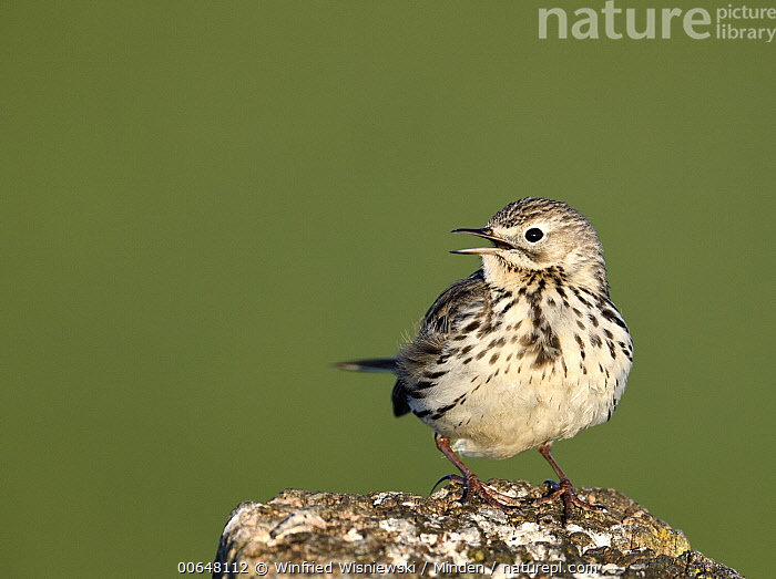Meadow Pipit (Anthus pratensis) calling, Duemmer Lake, Germany  ,  Adult,Anthus pratensis,Calling,Color Image,Day,Duemmer Lake,Full Length,Germany,Horizontal,Meadow Pipit,Nobody,One Animal,Open Mouth,Outdoors,Photography,Side View,Songbird,Wildlife  ,  Winfried Wisniewski