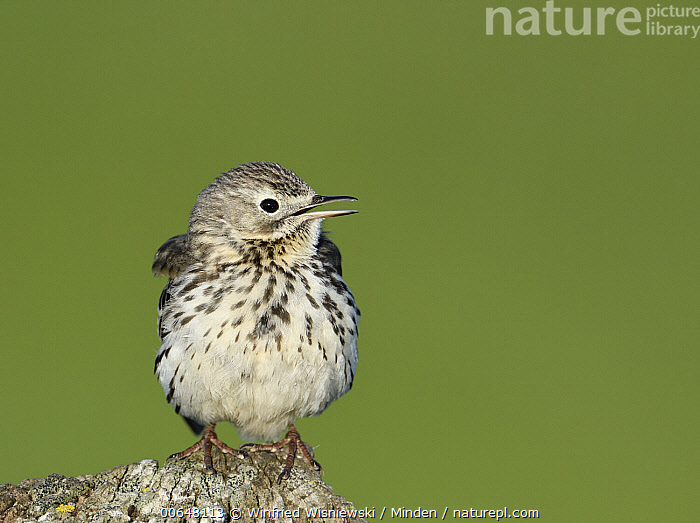 Meadow Pipit (Anthus pratensis) calling, Duemmer Lake, Germany  ,  Adult,Anthus pratensis,Calling,Color Image,Day,Duemmer Lake,Front View,Full Length,Germany,Horizontal,Meadow Pipit,Nobody,One Animal,Open Mouth,Outdoors,Photography,Songbird,Wildlife  ,  Winfried Wisniewski