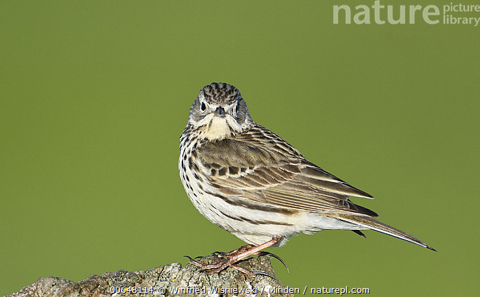 Meadow Pipit (Anthus pratensis), Duemmer Lake, Germany  ,  Adult,Anthus pratensis,Color Image,Day,Duemmer Lake,Full Length,Germany,Horizontal,Looking at Camera,Meadow Pipit,Nobody,One Animal,Outdoors,Photography,Side View,Songbird,Wildlife  ,  Winfried Wisniewski