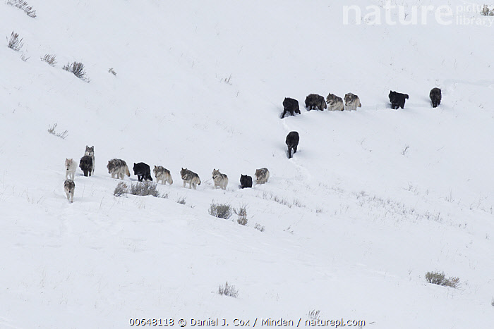 Gray Wolf (Canis lupus) pack in winter, Yellowstone National Park, Wyoming  ,  Adult,Canis lupus,Color Image,Day,Following,Front View,Full Length,Gray Wolf,Horizontal,Large Group of Animals,Line,Nobody,Outdoors,Pack,Photography,Side View,Snow,Wildlife,Winter,Wyoming,Yellowstone National Park  ,  Daniel J. Cox