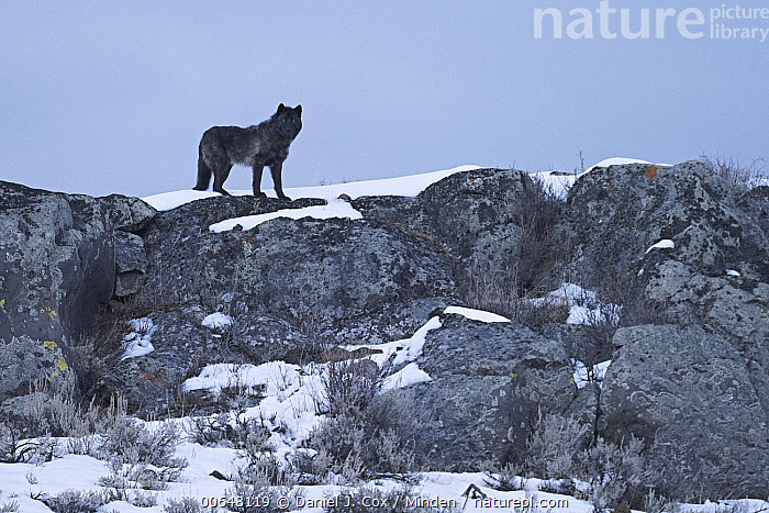 Gray Wolf (Canis lupus) in winter, Yellowstone National Park, Wyoming  ,  Adult,Canis lupus,Color Image,Day,Full Length,Gray Wolf,Horizontal,Looking at Camera,Nobody,One,One Animal,Outdoors,Photography,Side View,Snow,Solitary,Solitude,Wildlife,Winter,Wyoming,Yellowstone National Park  ,  Daniel J. Cox