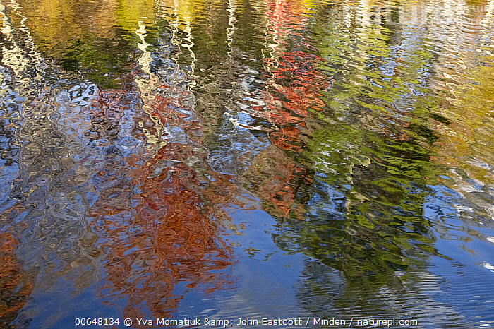 Deciduous forest reflected in pond in autumn, Lefferts Pond, Vermont  ,  Autumn,Color Image,Day,Deciduous Forest,Fall Colors,Horizontal,Landscape,Lefferts Pond,Nobody,Outdoors,Photography,Pond,Reflection,Vermont  ,  Yva Momatiuk & John Eastcott