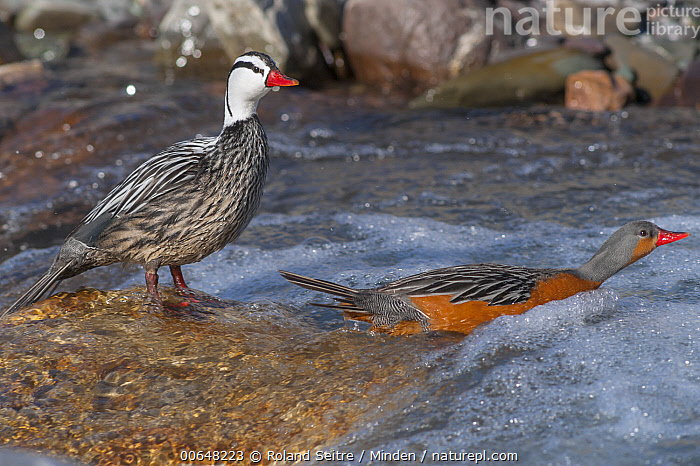 Torrent Duck (Merganetta armata) male and female, Jujuy, Argentina  ,  Adult,Argentina,Color Image,Day,Dimorphic,Entering,Female,Full Length,Horizontal,Jujuy,Male,Merganetta armata,Nobody,Outdoors,Photography,Sexual Dimorphism,Side View,Torrent Duck,Two Animals,Waterfowl,Wildlife  ,  Roland Seitre