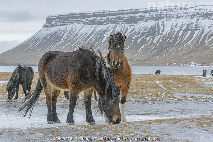 Icelandic Horse (Equus caballus) herd in winter, Grundarfjordur, Iceland  ,  Adult,Color Image,Day,Equus caballus,Front View,Full Length,Grundarfjordur,Herd,Horizontal,Iceland,Icelandic Horse,Looking at Camera,Medium Group of Animals,Nobody,Outdoors,Photography,Side View,Snow,Winter  ,  Shane P. White