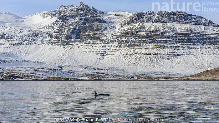 Orca (Orcinus orca) surfacing near coastal mountains, Grundarfjordur, Iceland  ,  Adult,Animal in Habitat,Animal in Landscape,Color Image,Day,Full Length,Grundarfjordur,Horizontal,Iceland,Marine Mammal,Nobody,One Animal,Orca,Orcinus orca,Outdoors,Photography,Side View,Surface,Surfacing,Wildlife  ,  Shane P. White