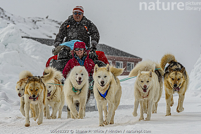 Sled Dog (Canis familiaris) team pulling sled, Kulusuk, Iceland  ,  Adult,Approaching,Canis familiaris,Caucasian Appearance,Color Image,Day,Dog Sled,Dog Sledding,Female,Front View,Full Length,Horizontal,Iceland,Kulusuk,Looking at Camera,Male,Man,Medium Group of Animals,Outdoors,Photography,Pulling,Running,Side View,Sled Dog,Smiling,Snow,Teamwork,Three People,Two People,Winter,Woman  ,  Shane P. White