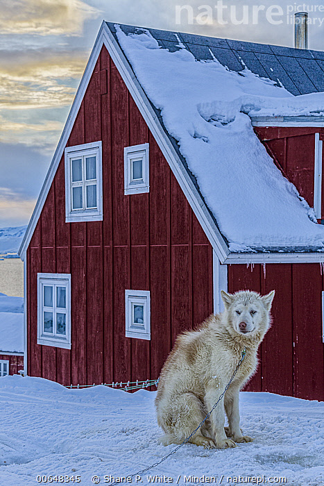 Sled Dog (Canis familiaris) in village in winter, Tiniteqilaaq, Iceland  ,  Adult,Building,Canis familiaris,Color Image,Day,Full Length,House,Iceland,Nobody,One Animal,Outdoors,Photography,Side View,Sled Dog,Snow,Tiniteqilaaq,Vertical,Village,Winter  ,  Shane P. White