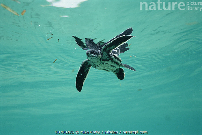 Leatherback Sea Turtle (Dermochelys coriacea) underwater view of swimming hatchling, Huon Gulf, Papua New Guinea  ,  Color Image, Critically Endangered Species, Day, Dermochelys coriacea, Front View, Full Length, Hatchling, Horizontal, Huon Gulf, Leatherback Sea Turtle, Leatherback Turtle, Nobody, One Animal, Photography, Sea Turtle, Swimming, Turtle, Underwater, Wildlife,Leatherback Sea Turtle,Papua New Guinea  ,  Mike Parry