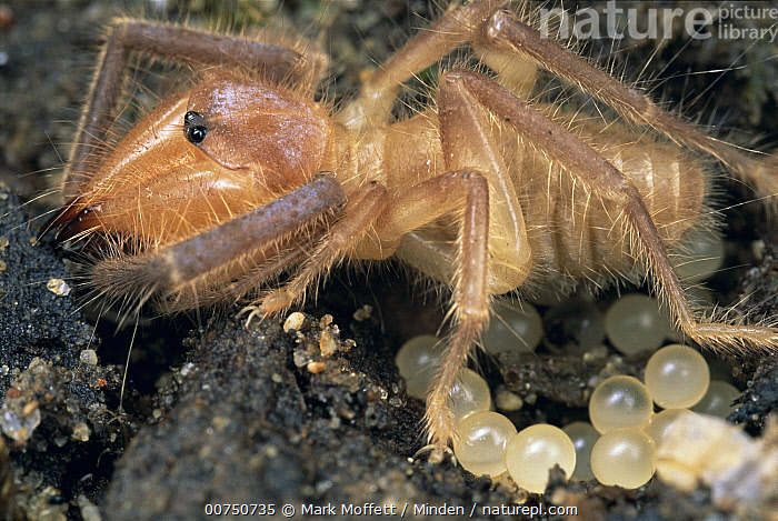 Solifugid (Branchia sp) female stands guard over her eggs in desert, Arizona, Adult, Arizona, Branchia sp, Close Up, Color Image, Desert, Egg, Full Length, Guarding, Horizontal, Large Group of Objects, Mother, Nocturnal, Nobody, One Animal, Photography, Profile, Protecting, Side View, Standing, USA, Wildlife,Solifugid,Arizona, USA, Mark Moffett