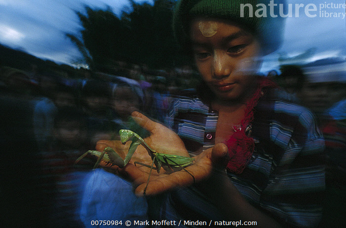 Chinese Mantis (Tenodera aridifolia) held by boy, northern Myanmar  ,  Asian Ethnicity, Blurred Motion, Boy, Burma, Chinese Mantis, Color Image, Day, Elementary Age, Evening, Horizontal, Myanmar, One Animal, One Person, Outdoors, Photography, Tenodera aridifolia,Chinese Mantis,Myanmar  ,  Mark Moffett