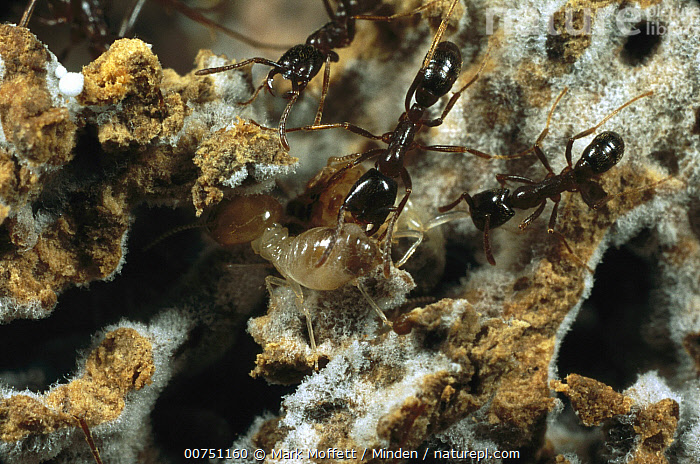 Driver Ant (Dorylus sp) workers investigating a termite fungus garden presented to them in an experiment in Gashaka, Nigeria, Adult, Color Image, Day, Difference, Dorylinae, Driver Ant, Four Animals, Full Length, Fungus, Horizontal, Investigating, Nigeria, Nobody, One Animal, Outdoors, Photography, Predating, Predator, Prey, Safari Ant, Termite, Top View, Wildlife, Worker,Driver Ant,Nigeria, Mark Moffett