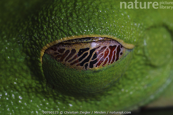 Red-eyed Tree Frog (Agalychnis callidryas) eye covered with nictating membrane  ,  Agalychnis callidryas, Camouflage, Close Up, Color Image, Day, Eye, Frog, Horizontal, ILCP, Nictitating Membrane, Nobody, One Animal, Outdoors, Photography, Protection, Red-eyed Tree Frog, Web, Wildlife,Red-eyed Tree Frog  ,  Christian Ziegler