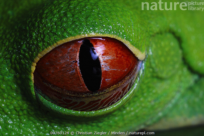 Red-eyed Tree Frog (Agalychnis callidryas) eye with retracting nictitating membrane  ,  Agalychnis callidryas, Close Up, Color Image, Day, Eye, Frog, Horizontal, ILCP, Nictitating Membrane, Nobody, One Animal, Outdoors, Photography, Pupil, Red, Red-eyed Tree Frog, Wildlife,Red-eyed Tree Frog  ,  Christian Ziegler