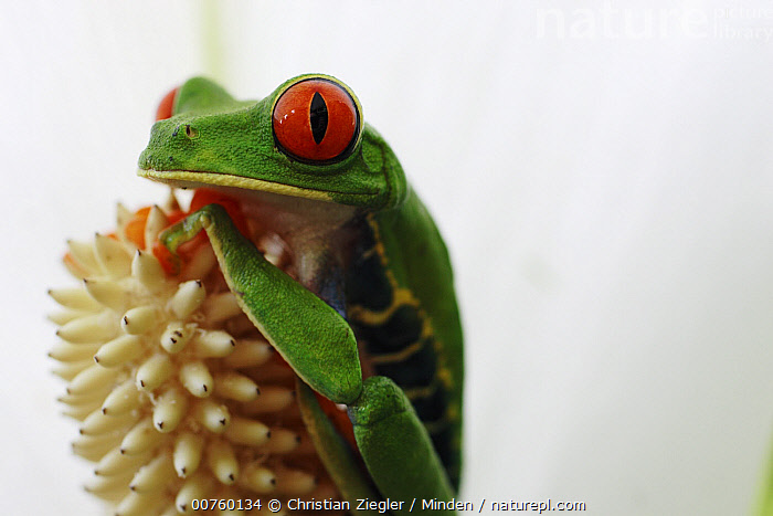 Red-eyed Tree Frog (Agalychnis callidryas) portrait, La Selva, Costa Rica  ,  Agalychnis callidryas, Color Image, Colorful, Costa Rica, Day, Frog, Horizontal, ILCP, La Selva, Nobody, One Animal, Outdoors, Photography, Portrait, Red, Red-eyed Tree Frog, Three Quarter Length, Wildlife,Red-eyed Tree Frog,Costa Rica  ,  Christian Ziegler