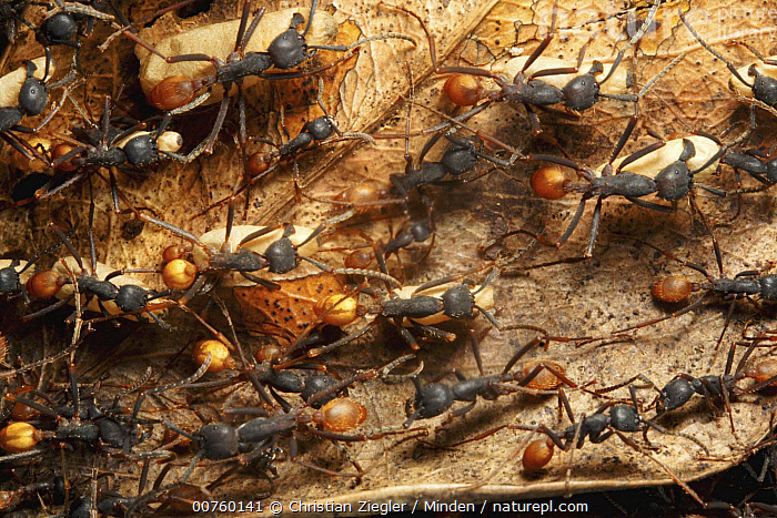 Army Ant (Eciton sp) colony emigration, this species relocates every night and workers transport the larvae and food. Barro Colorado Island, Panama, Army Ant, Barro Colorado Island, Carrying, Color Image, Colony, Day, Eciton burchellii, Eciton sp, Horizontal, ILCP, Larva, Migrating, Nobody, One Animal, Outdoors, Panama, Photography, Wildlife,Army Ant,Panama, Christian Ziegler