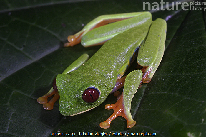Red-eyed Tree Frog (Agalychnis callidryas) on a leaf, in the daytime this species is well camouflaged when it folds all colorful parts under, Soberania National Park, Panama, Agalychnis callidryas, Color Image, Day, Frog, Full Length, Horizontal, ILCP, Nobody, One Animal, Outdoors, Panama, Photography, Red-eyed Tree Frog, Soberania National Park, Top View, Wildlife,Red-eyed Tree Frog,Panama, Christian Ziegler