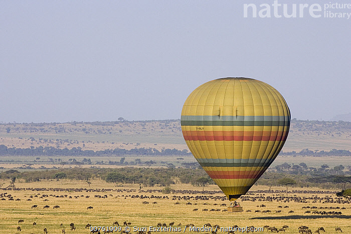 Hot air balloon flying over wildebeest herd, Masai Mara Triangle, Kenya, Color Image, Day, Horizontal, Hot Air Balloon, ILCP, Kenya, Landscape, Masai Mara, Nobody, One Object, Outdoors, Person, Photography, Savanna, Tourism, Tourist, Wildebeest, Wildlife,Kenya, Suzi Eszterhas